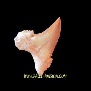 PALEOCARCHARODON ORIENTALIS (4)