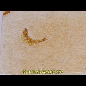 fossil fish  LEPTOLEPIS STRATIFORMIS