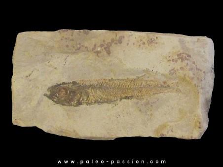 poisson fossile ATHERINA SUKHOVI