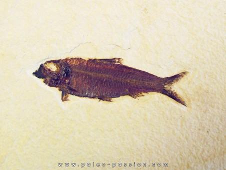 poisson fossile KNIGHTIA EOCAENA (6)