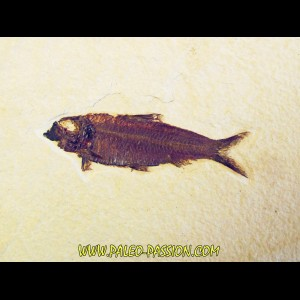 fish: KNIGHTIA EOCAENA (6)