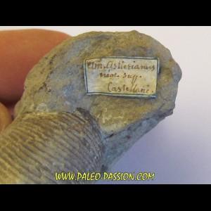 HOLCOSTEPHANUS ASTIERI