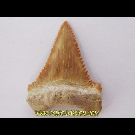 PALEOCARCHARODON ORIENTALIS (8)