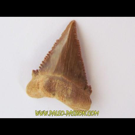 PALEOCARCHARODON ORIENTALIS (9)