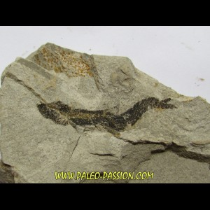 fossil fish ARGENTINOIDES sp.