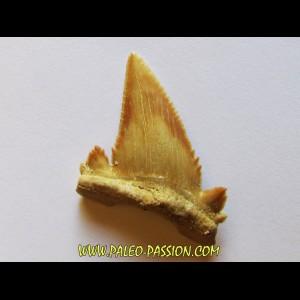PALEOCARCHARODON ORIENTALIS (13)