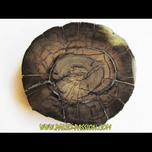 MAMMOTH Tusk:  mammuthus columbi (1)