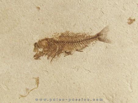 poisson fossile SERRANUS budensis (Henkel, 1856)