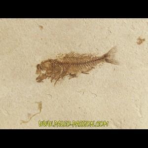 fossil fish SERRANUS  budensis (Henkel, 1856)