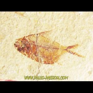 DIPLOMYSTUS BIRDI (8)