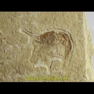 CARPOPENAEUS CALLIROSTRIS (1)