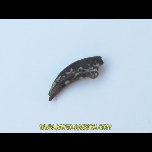 dinosaur claw theropode ind.