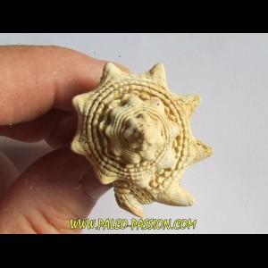 Melongena lainei (2)