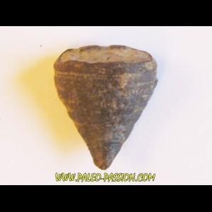 calceola sandalina(6)