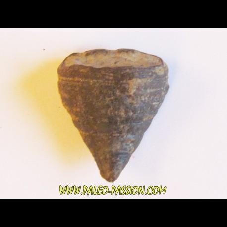 calceola sandalina (6)