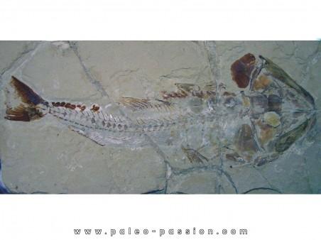 HALEC MICROLEPIS