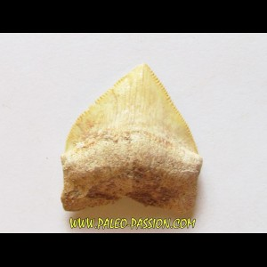 shark teeth: CORAX PRISTODONTUS (2)