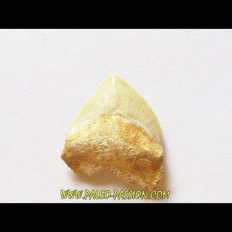 shark teeth: CORAX PRISTODONTUS (3)