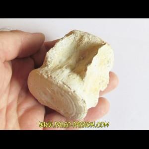BASILOSAURUS vertebrae (7)