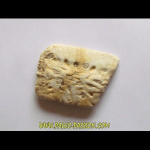 CROCODILE SKIN PLATE: Dyrosaurus phosphaticus (2)