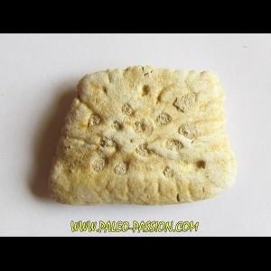 CROCODILE SKIN PLATE: Dyrosaurus phosphaticus (3)
