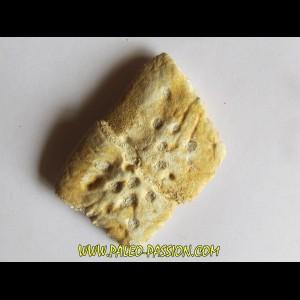 CROCODILE SKIN PLATE: Dyrosaurus phosphaticus (4)