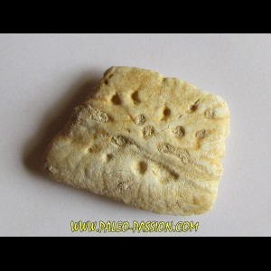 CROCODILE SKIN PLATE: Dyrosaurus phosphaticus (5)