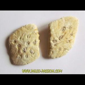 CROCODILE SKIN PLATE: Dyrosaurus phosphaticus (6)