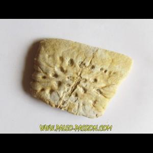 CROCODILE SKIN PLATE: Dyrosaurus phosphaticus (8)