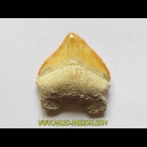shark teeth: CORAX PRISTODONTUS (8)