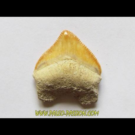 shark teeth: CORAX PRISTODONTUS (8)