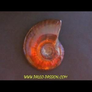 cleoniceras polie (3)