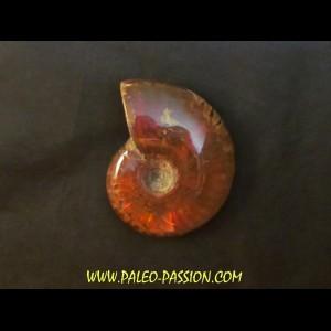 cleoniceras polie (4)