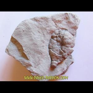 Cystoides holocystites scutellatus (1)