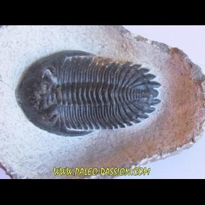 HOLLARDOPS mesocristata (3)