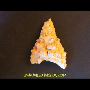 shark  tooth  Fully coated  of a crusting of coral (5)