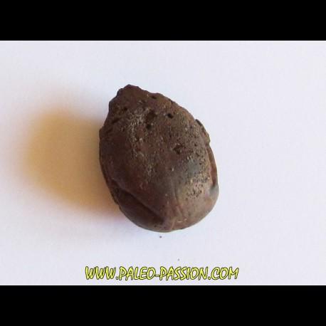 cycad seeds Nilissonia sp. (1)