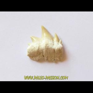 notidanodon loozi (6)