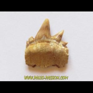 notidanodon loozi (8)