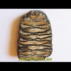 DENT DE MAMMOUTH:  mammuthus columbi (2)