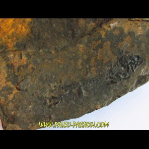 branchiosaure (protriton) petrolei  (2)