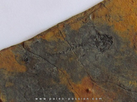 branchiosaure (protriton) petrolei  (3)