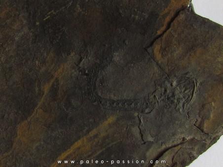 branchiosaure (protriton) petrolei  (4)