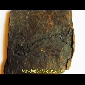 branchiosaure (protriton) petrolei  (5)