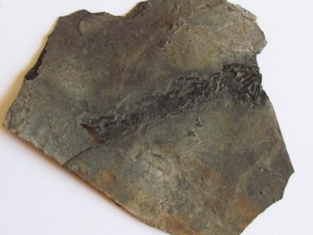 branchiosaure (protriton) petrolei  (9)