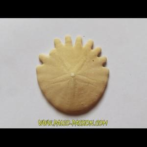 urchin Heliophora orbiculus (6)