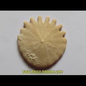urchin Heliophora orbiculus (9)