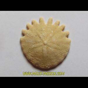 urchin Heliophora orbiculus (10)