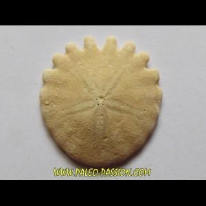 urchin Heliophora orbiculus (11)
