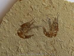 CARPOPENAEUS CALLIROSTRIS (10)